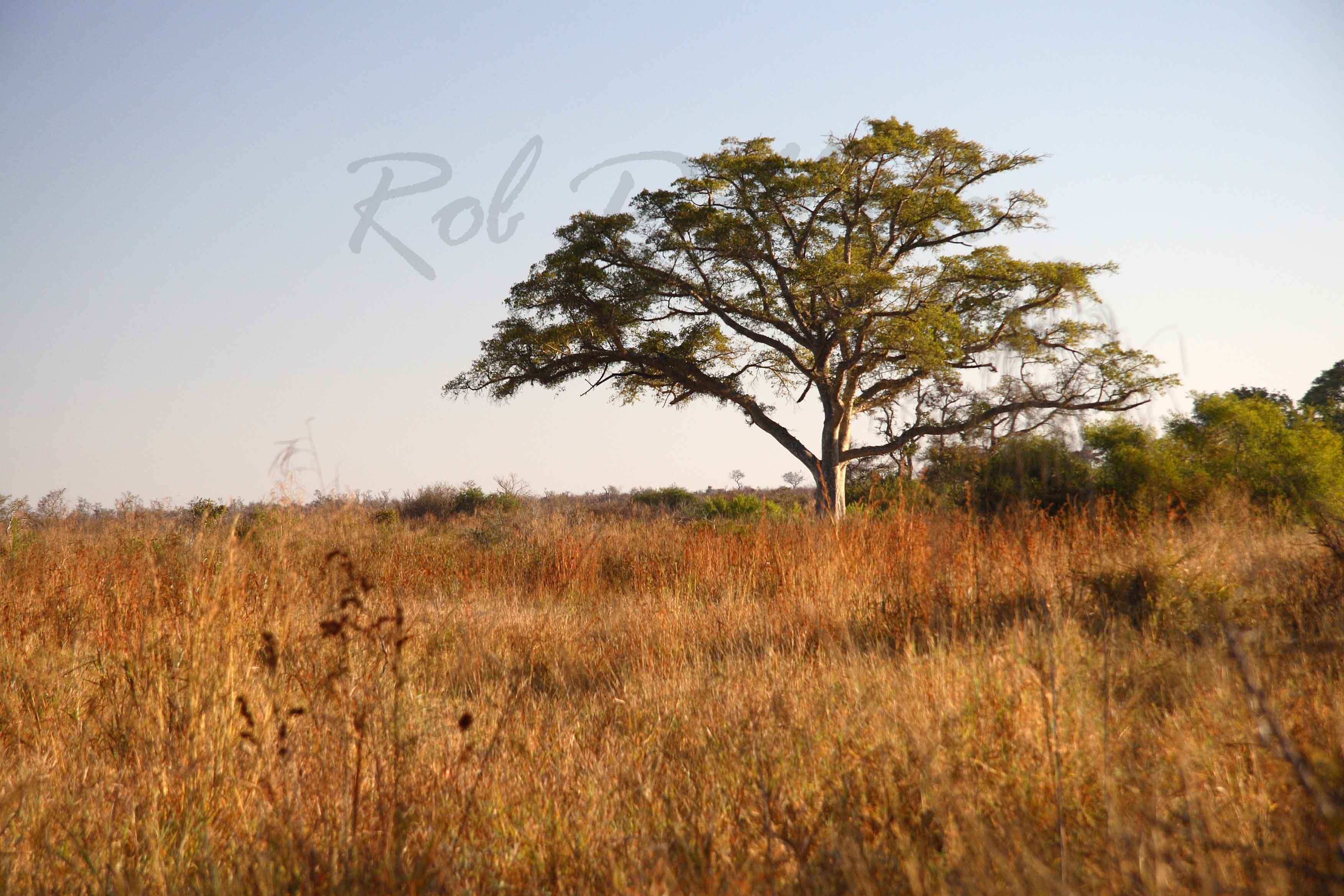 Acacia at Kruger National Park