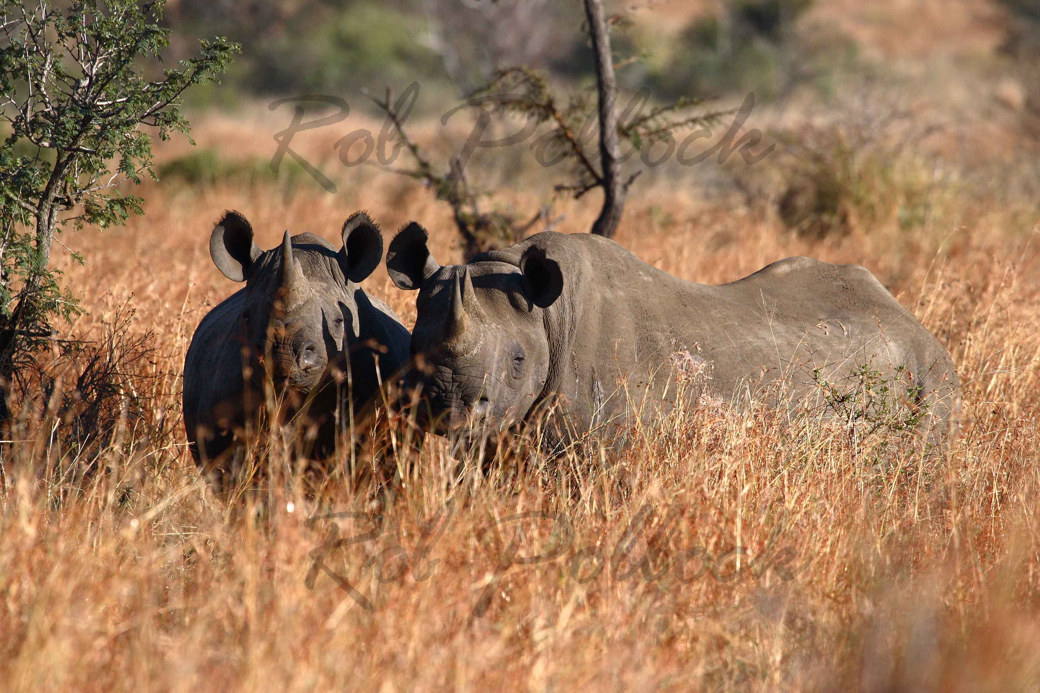 Black rhino at Kruger National Park